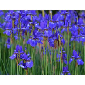 Ethereal Iris (NEW)
