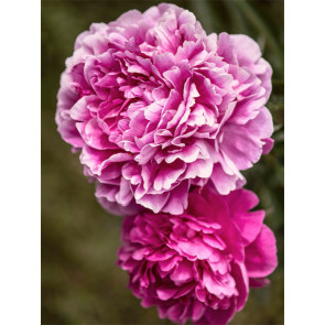 Pink Peonies (NEW)